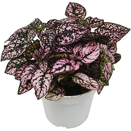 1 Hypoestes 'Pink' (Polka Dot Plant) / 4' Pot/Live Plant/House Plant/Free Care...