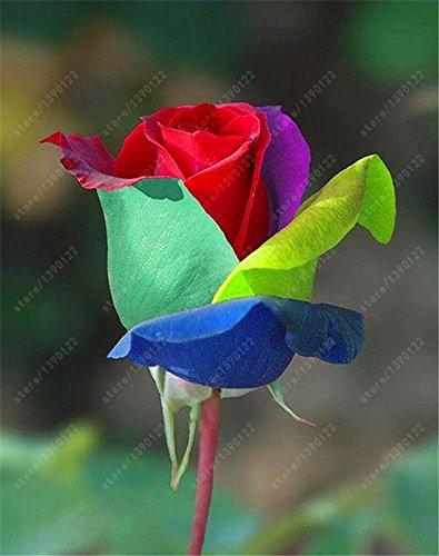 200pcs / sac rare graines rose multi-couleur rose graines de fleurs bonsaï graines bonsaïs noir rose plante rare balcon pour le jardin à la maison 20 mis en pot
