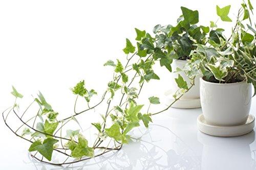 """Inglés hiedra (Hedera helix)""""50"""" Semillas - Plantas de interior de hoja perenne para mejorar la calidad del aire interior"""