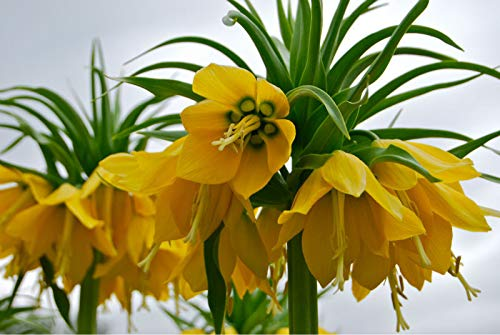 ScoutSeed KAUFEN 3 ERHALTEN 2 FREIE Kaiserkrone Samen 10pcs Fritillaria imperialis Lutea Seeds