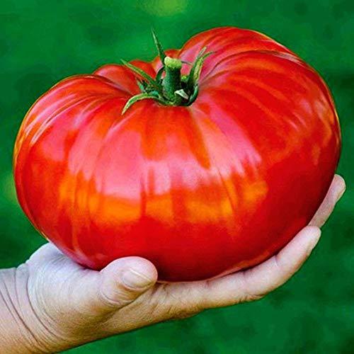 GL Seeds Beefsteak Tomato Red Giant Vegetable for Planting Heirloom Non GMO