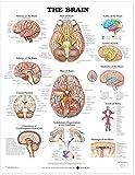 Brain Anatomical Chart - Anatomical Chart Co.