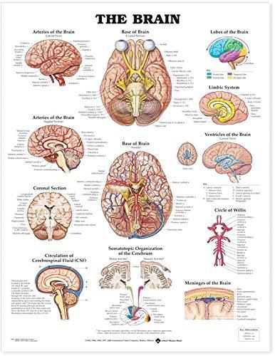 Brain Anatomical Chart
