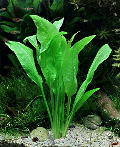Dekoimtrend Echinodorus grisebachii Bleherae Grosse Amazonas - Schwertpflanze 1 Tonring Wasserpflanze Aquarium Aquariumpflanze