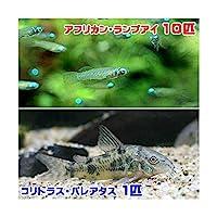 (熱帯魚)アフリカン・ランプアイ(10匹) + コリドラス・パレアタス(1匹) 北海道航空便要保温