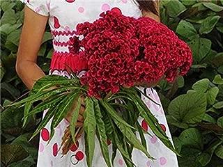 Cockscomb Tornado Red Celosia argentea Heirloom Rare Tall Red Live Organic Plant