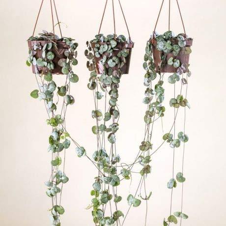 Qulista Samenhaus - 10pcs Rarität Leuchterblume Zimmerpflanzen Ampelpflanze pflegeleicht, Grüne Pflanzen Blumensamen Bonsai winterhart mehrjährig
