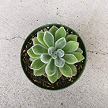Echeveria Doris Taylor Woolly Rose Indoor Plant Hairy Fuzzy Leaves Rosette Style Succulent Exotic Succulent Plants Rare Succulent - 2'' + Clay Pot