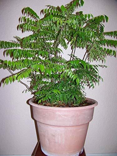 Portal Cool Curry Leaf pianta Kadi Patta Murraya Koenigii Limdi impianto 8 Seeds