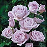 Blue Moon * Climbing Rose Seeds * Beautiful Fragrant Blooms