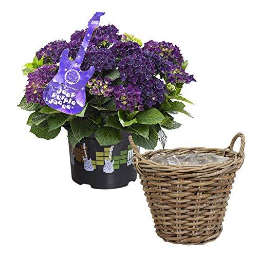 Hydrangea marcophylla Deep Purple   Hortensie Lila   Inkl. Weidenkorb   Höhe 25-35cm   Korbgröße Ø30 cm