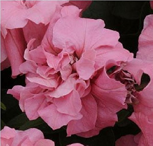Il vous suffit de graines de fleurs???Petunia???Double Duo Rose satin? F1?30?graines en granul?s