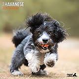 Havanese Traditioneller Kalender 2021