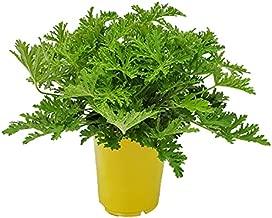Citronella Plant - Mosquito Plant - Pelargonium Citrosum - Live Outdoor Plants - Overall Height 12