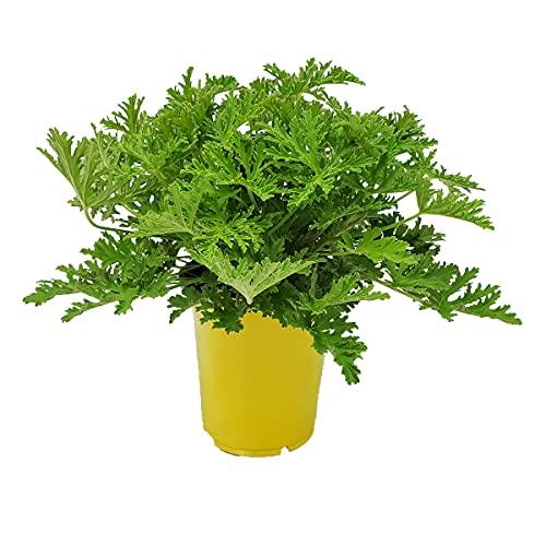 Citronella Plant - Mosquito Plant - Pelargonium Citrosum - Live Outdoor Plants - Overall Height 12'...
