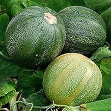'Minnesota Midget' Melon - A backyard gardener's dream! Compact, 3-4-foot vines!(10 - Seeds)