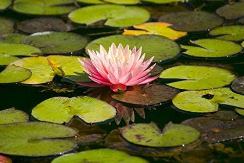 Puzzle 1000 piezas Puzzle de madera Lotus on Water Muy desafiante para adultos y adolescentes Rompecabezas informal 75 × 50cm
