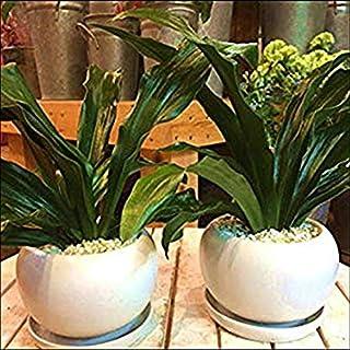 万年青(オモト)有田(ありた)2鉢セット販売♪和風の和み テーブルサイズ(S-サイズ)2鉢セットでご自宅用やご両親、お世話になった方へ♪インテリア陶器鉢植え 受け皿付き ミニ観葉植物 『One' Garden 植え替え済み オリジナル作成』