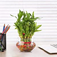 Appealing, elegant and easy to grow, our two layer bamboo is a perfect gift for your office and home. One of the strongest fengshui elements they are symbol of good luck and fortune. MATERIAL: Natural Plants & Glass Pot PLANT COLOR: Green POT COLOR: ...