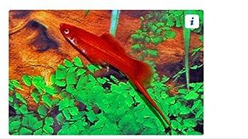 Aquarium Plants Discounts Swordtail Red Velvet - Freshwater Live Tropical Fish