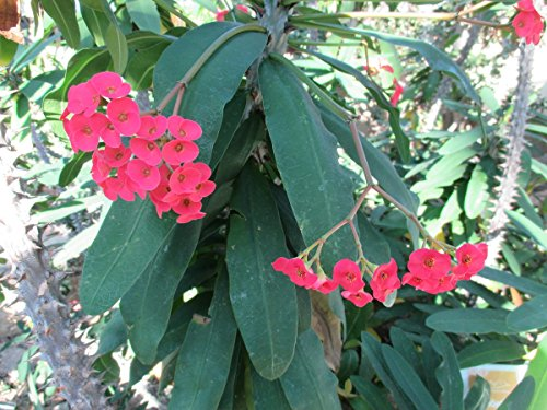 The Crown Of Thorns Plant Euphorbia Milii Kindle Edition By