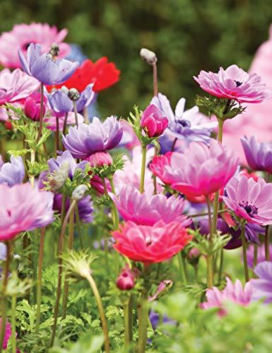 Keland Garten - 10pcs Raritäten Herbstanemone wetterfest mit schalenförmigen Blüten, Blumensamen Mischung winterhart mehrjährig auf Terrasse & Balkon