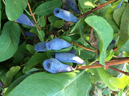 Gimolost 2 Pflanzen Sparset. Honigbeere, Sibirische Blaubeere. Lonicera kamtschatica