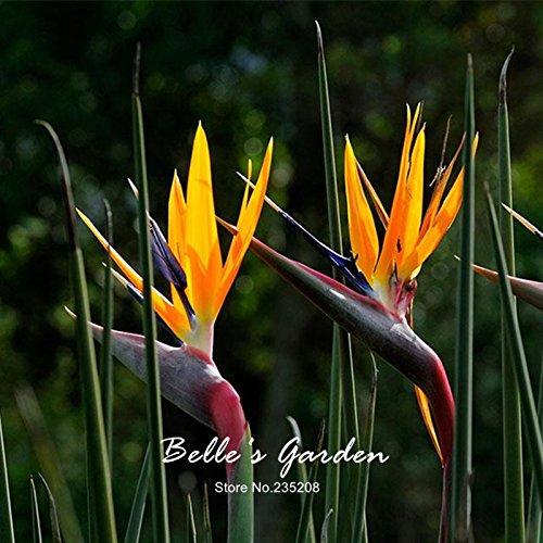 5pcs véritable Strelitzia Reginae Graines d'oiseaux rares Paradise Seeds Graines de fleurs bonsaïs Patio Jardin en pot de fleurs
