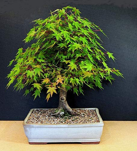 Arce japonés - Acer Palmatum - 15 semillas - Bonsai perfecto