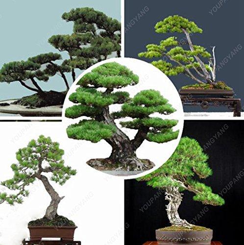 Un pack de 50 pièces bleu Spruce Graines Bonsai Picea arbre en pot Cour Jardin des plantes Bonsai Graines Pine Tree