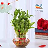 SMZ Brandlines Two Layer Lucky Bamboo Plant with Big Round Glass Pot