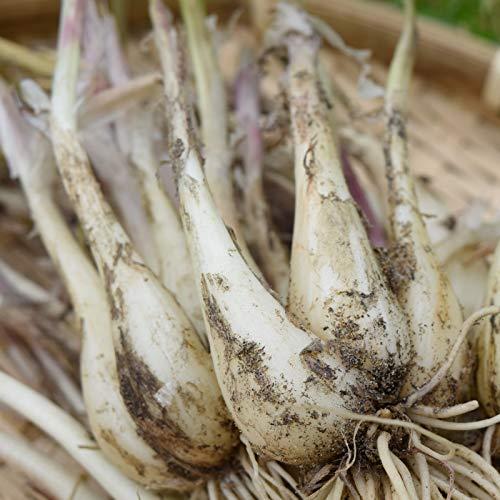 鳥取県産 砂丘らっきょう 5kg 生らっきょう 土 根 茎 付き 数量限定 大きさ不揃い らくだ 種 苗 井上農園 産地直送 ポリフェノール 健康