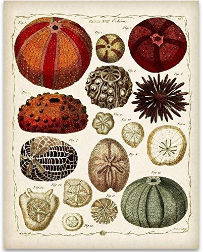 Ernst Haeckel Sea Urchins Illustrations - 11x14 Unframed Art Print - Great Beach House Decor Under $15