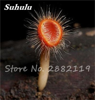 Nouveaux 80 Pcs champignons rares Graines Succulent Plant, Godsend cadeaux, Ornement Pot, jardin Fournitures de bonsaïs d'intérieur pour Happy Farm 8