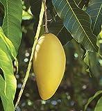 Creative Farmer Mallika Rare Tasty Mallika Mango ('Neelum' X 'Dasheri') Sweet Fiberless Fruit