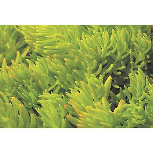 Sedum Lemon Ball - hellgrüne Polster-Fetthenne - winterhart, im Topf 12 cm, in Gärtnerqualität von Blumen Eber - 12 cm