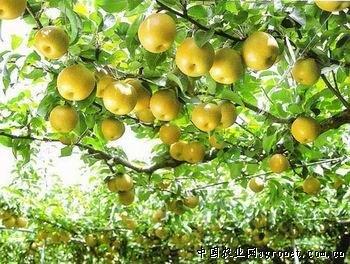fruits de poire de qualité en gros d'or de graines de poire empochée stock adéquat du Nord et du Sud 50 graines/Pack 6