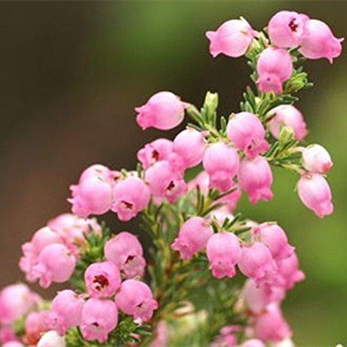 50 pcs/sac Muguet Graines de fleurs rares Indoor de Bell Orchid Seeds arôme riche Bonsai plantes en pot Balcon jardin bricolage Home 04