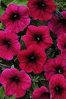 Petunia Shock Wave Deep Purple Pelleted Seeds