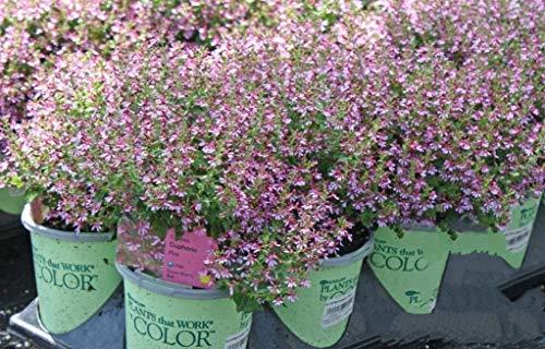 vegherb 10 Rose Zigarre Pflanze mexikanischen Kracher Cuphea Ignea Coan Blumensamen Kamm S/H