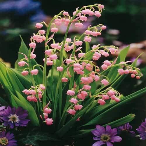 Tomasa Samenhaus- 100 Stück Maiglöckchen rosa,Selten Blumen Convallaria Majalis winterhart mehrjährige Blumensamen Saatgut für Balkon, Garten