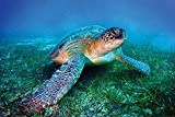Pyramid America Loggerhead Sea Turtle Underwater On Seabed Close Up Photo Cool Wall Decor Art Print Poster 36x24