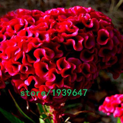 Bloom Green Co. 500 pcs/sac Rare Magnifique couleur Cockscomb Graines Balcon Patio Bonsai Graines de fleurs Celosia cristata Plante en pot + Cadeau Mystère: Blanc