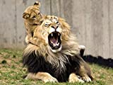 Lsping Puzzle opere d'arte 500 pezzi Fondos de Pantalla Grandes felinos Cachorros león animalia descargar imagenes 52x38cm