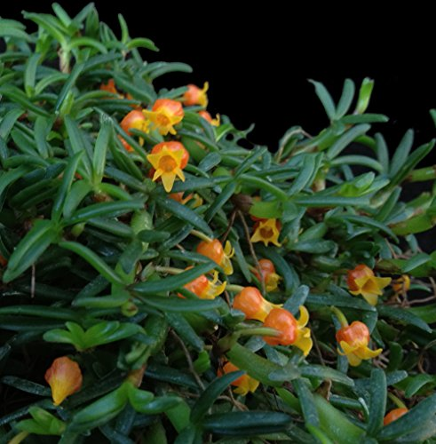 Orchid Insanity - Mediocalcar decoratum - Tiny Miniature Orchid Papua New Guinea Exotic but Easy to Grow Perfect for vivariums terrariums Orange Pumpkin-Shaped Flowers