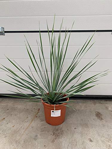 Yucca rostrata Sonderposten 60 cm Winterhart Pflanze im Topf bis -20°C