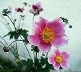 10 Semi Anemone cinesi, thimbleweed giapponese, hupehensis Anemone