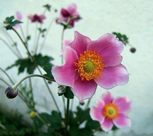10 Chinesische Anemone Samen, japanische Thimbleweed, Herbst-Anemone