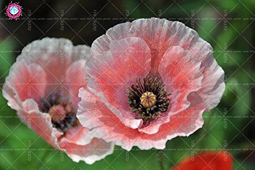 100pcs rouge de fleur de pavot graines Bonsai. Rare Papaver ORIENTALE graines en pot pour jardin maison décorée planting.semillas de flores 8