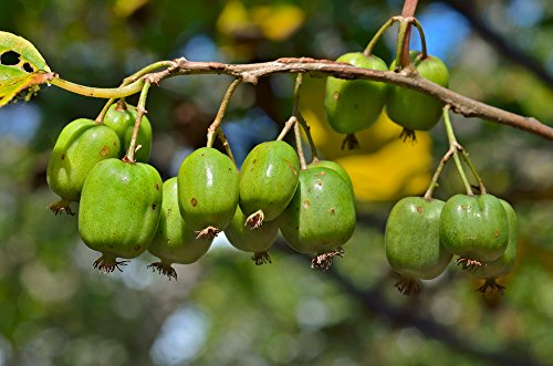 Zwerg Kiwi 5 Samen,Cocktail Kiwi (Actinidia arguta) frosthart, lecker, schnell wachsend